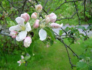 Gravenstein - Gravenstein flowers