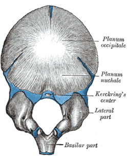 Lateral parts of occipital bone - Wikipedia, the free encyclopedia