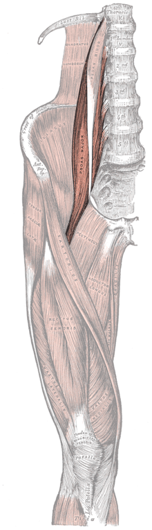 Gray430 Psoas Major.png
