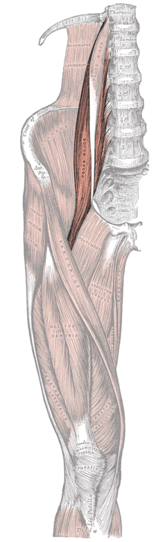 musculus psaos major