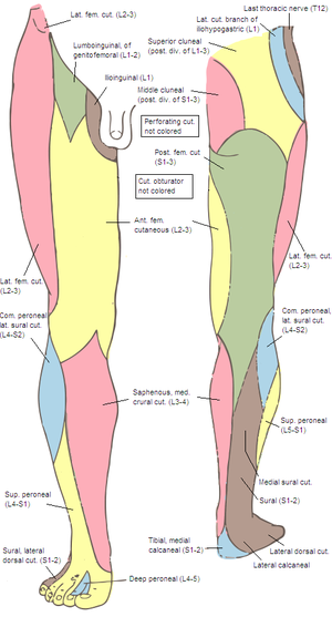 Medial cluneal nerves - Cutaneous nerves of the right lower extremity. Front and posterior views. (Posterior div of sacral visible in pink at upper left.)