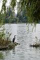 Great Blue Heron (Ardea herodias) in Lost Lagoon, Stanley Park, Vancouver, BC.jpg