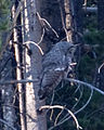 Great Grey Owl (8044039853).jpg