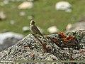 Great Rosefinch (Carpodacus rubicilla) (23352766616).jpg