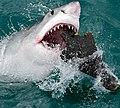 Great White Shark Feeding.jpg