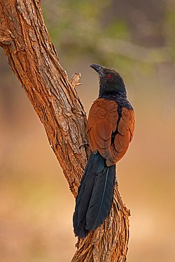 Greater Coucal at Ranebennur.jpg
