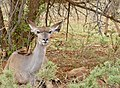Greater Kudu (Tragelaphus strepsiceros) female resting under a tree ... (50112384132).jpg