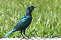 Greater blue-eared glossy Starling (8617012294).jpg