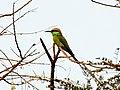 Green Bee-eater - Merops orientalis - Shivakumar.jpg