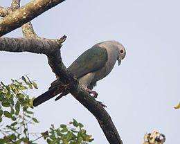 Green Imperial-Pigeon (Ducula aenea)