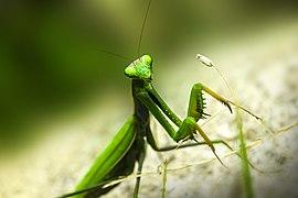 Green mantis - Flickr - places lost.jpg