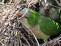 Green parrots at Parque por la Paz Villa Grimaldi - Santiago Chile - Peace Park (5277465397).jpg