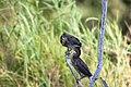 Greenbacked Herons (3693469032).jpg