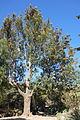 Grevillea robusta - Leaning Pine Arboretum - DSC05463.JPG
