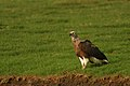 Grey-headed Fish Eagle DSC 3312.jpg