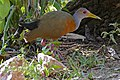 Grey-necked Wood Rail (Aramides cajanea) (30651300043).jpg