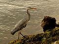 Grey Heron (5726001983).jpg