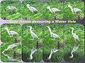 Grey Heron devouring a Water Vole.jpg