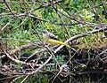 Grey Wagtail Motacilla cinerea, Alcornocales NP, Cadiz, Spain (25055385447).jpg