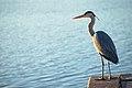 Grey heron Porto 2.jpg