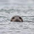 Grey seal - Grijze zeehond - Halichoerus grypus 02.jpg