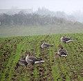 Greylag geese (Anser anser) - geograph.org.uk - 1121124.jpg