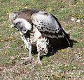 Griffon Vulture by Trisha 2.jpg