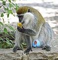 Grivet Monkey, Ethiopia (9685451664).jpg