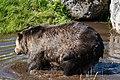 Grizzly bear is taking a bath (30852487698).jpg