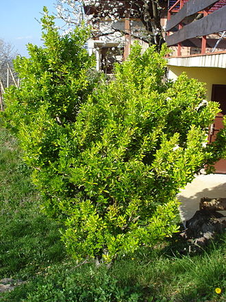 Euonymus japonicus - A variegated cultivar of Euonymus japonicus shrub in early springtime