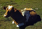 Guernsey cow or calf lying on the ground, ca 1941-42.jpg