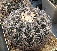 Gymnocalycium spegazzinii.jpg