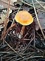 Gymnopilus sapineus 29446892.jpg