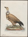 Gyps kolbii - 1796-1808 - Print - Iconographia Zoologica - Special Collections University of Amsterdam - UBA01 IZ18100079.tif