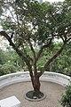 HK Park 香港公園 December 2018 IX2 tree.jpg