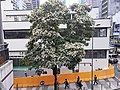 HK Queen's Road tree at 中環街市 Central Market building April 2021 SS2 02.jpg