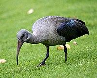 Hadada Ibis (Bostrychia hagedash).jpg