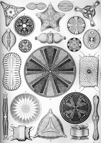 File:Haeckel Diatomea 4.jpg