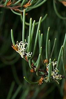 <i>Hakea epiglottis</i> species of plant