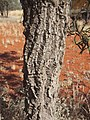 Hakea macrocarpa bark.jpg