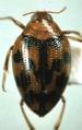 Haliplus fasciatus.png
