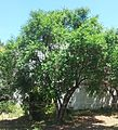 Halleria lucida tree - Koelenhof Stellenbosch.jpg
