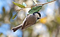 Hanging Carolina Chickadee.jpg