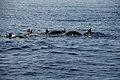 Happy Dolphins in Pulau Ternate Alor - panoramio.jpg