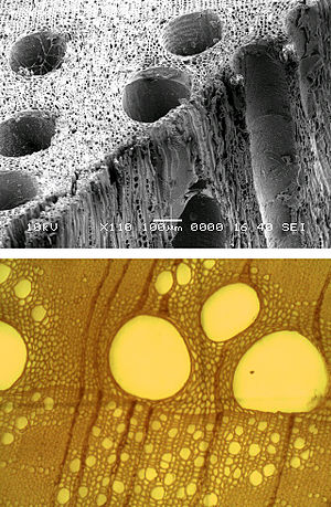 Vessel element - SEM image (top) and Transmission Light Microscope image (bottom) of vessel elements in Oak