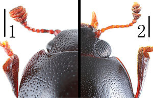 Comparative biology - Comparison of the heads of two species from the Erotylidae family of beetles: Scelidopetalon biwenxuani (1) and Amblyopus vittatus (2). Scale bar = 0.5 mm.