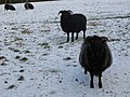 Hebridean sheep in the snow - geograph.org.uk - 1113532.jpg