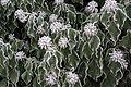 Hedera helix mit Reif Pernegg 20170128 03.jpg