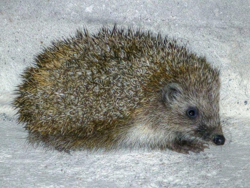 File:Hedgehog 1210127.jpg