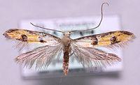Heinemannia laspeyrella.jpg